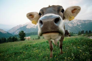Clip Art Cow